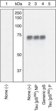 Phospho-Tau (Ser262) Antibody in Western Blot (WB)