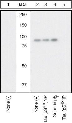 Phospho-Tau (Ser404) Antibody in Western Blot (WB)