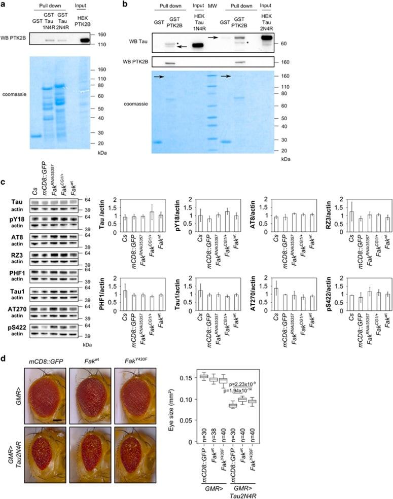 Phospho-Tau (Ser422) Antibody