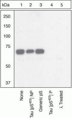 Phospho-Tau (Ser422) Antibody in Western Blot (WB)