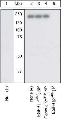 Phospho-EGFR (Tyr845) Antibody in Western Blot (WB)