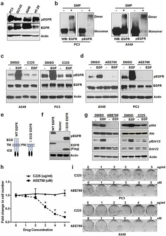 Phospho-EGFR (Tyr1173) Antibody