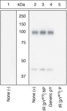 Phospho-INSR (Tyr972) Antibody in Western Blot (WB)