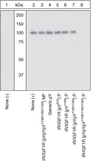 Phospho-IR/IGF1R (Tyr1158, Tyr1162, Tyr1163) Antibody in Western Blot (WB)