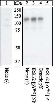 Phospho-IRS1 (Tyr941) Antibody in Western Blot (WB)