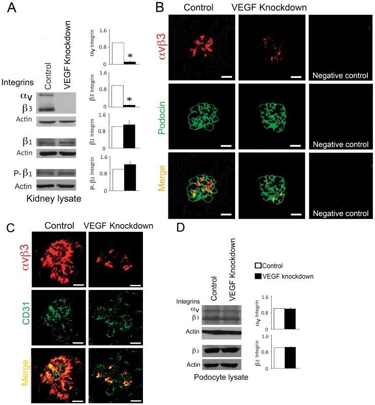 Phospho-ITGB1 (Ser785) Antibody