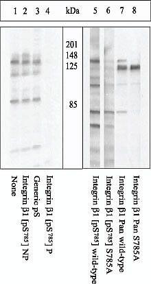 Phospho-ITGB1 (Ser785) Antibody in Western Blot (WB)