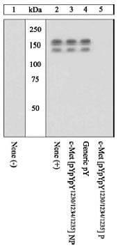 Phospho-c-Met (Tyr1230, Tyr1234, Tyr1235) Antibody in Western Blot (WB)