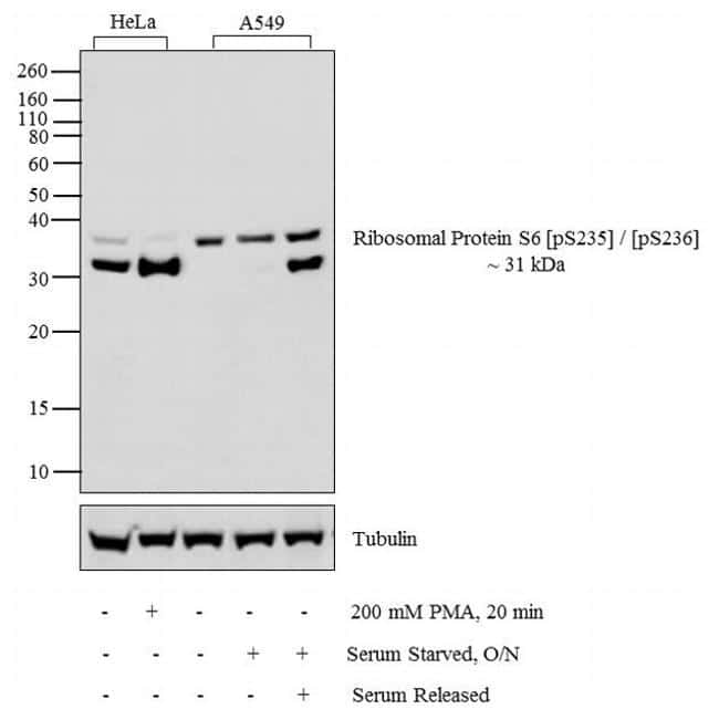 Phospho-S6 (Ser235, Ser236) Antibody in Cell Treatment