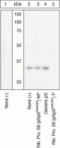 Phospho-S6 (Ser244, Ser247) Antibody in Western Blot (WB)