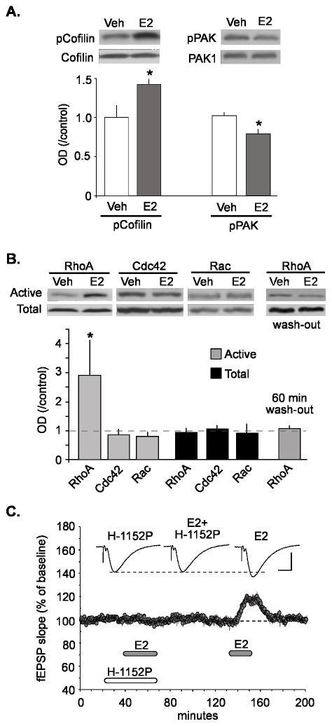 Phospho-PAK1/2/3 (Ser141) Antibody