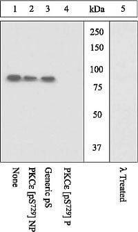 Phospho-PKC epsilon (Ser729) Antibody in Western Blot (WB)