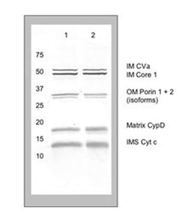 Mitochondria Membrane Integrity Antibody in Western Blot (WB)