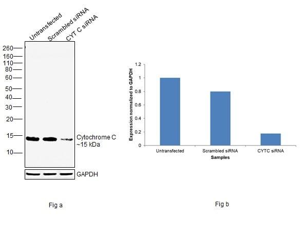 Cytochrome C Antibody in Knockdown