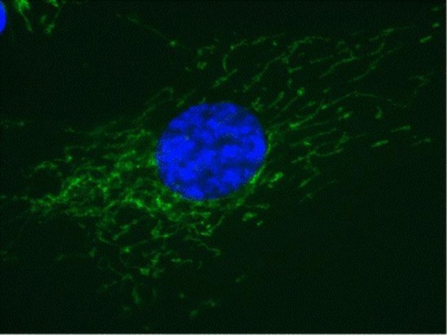 COX5A Antibody in Immunofluorescence (IF)