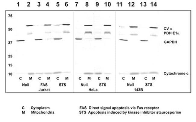 Cytochrome C Antibody in Western Blot (WB)