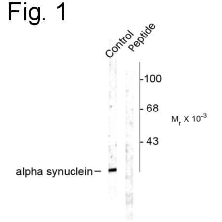 Phospho-alpha Synuclein (Ser129) Antibody in Western Blot (WB)