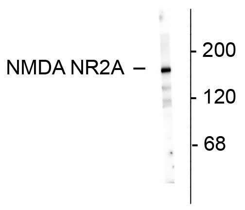 NMDAR2A Antibody in Western Blot (WB)