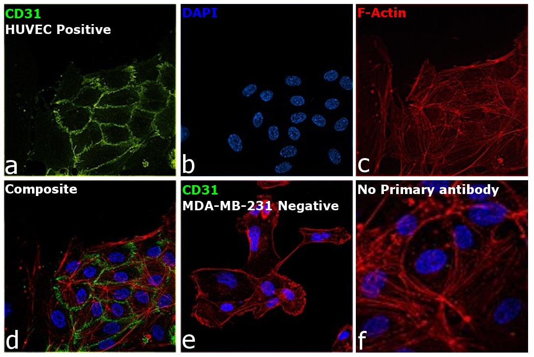CD31 (PECAM-1) Antibody in Immunocytochemistry (ICC)