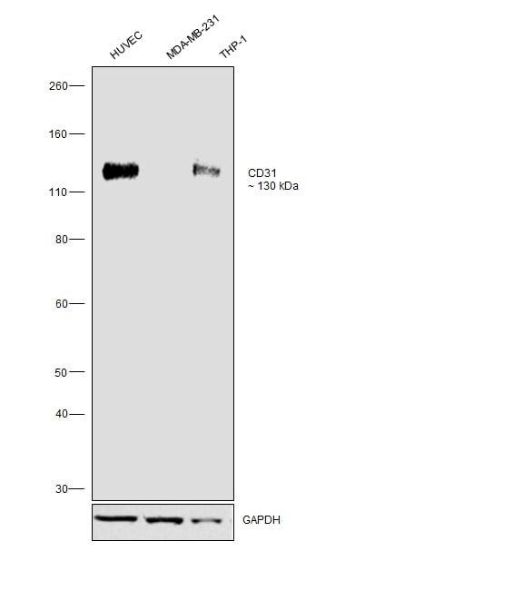 CD31 (PECAM-1) Antibody in Western Blot (WB)