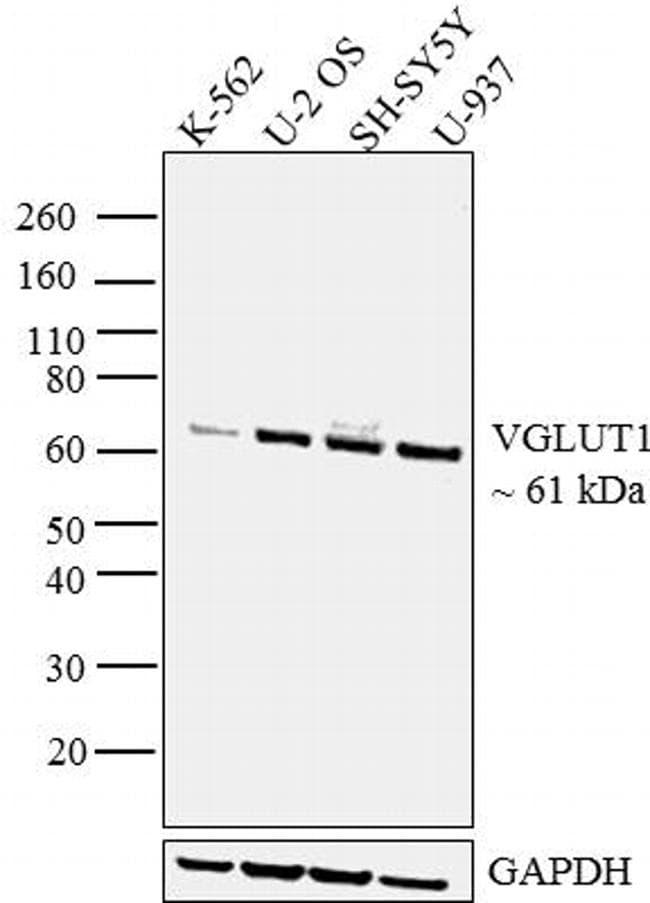 VGLUT1 Antibody in Western Blot (WB)