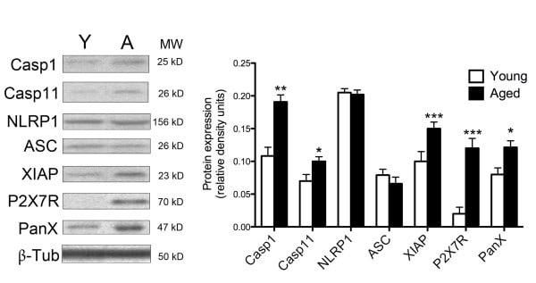 Pannexin 1 Antibody