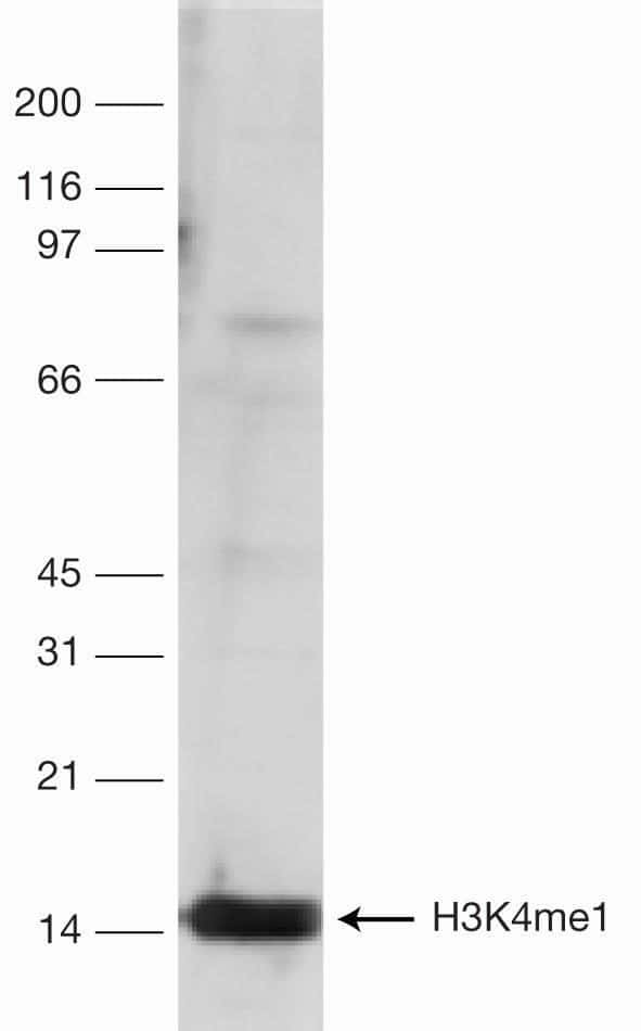 Methyl-Histone H3 (Lys4) Antibody in Western Blot (WB)
