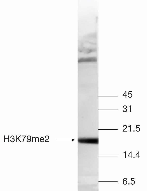 Di-Methyl-Histone H3 (Lys79) Antibody in Western Blot (WB)