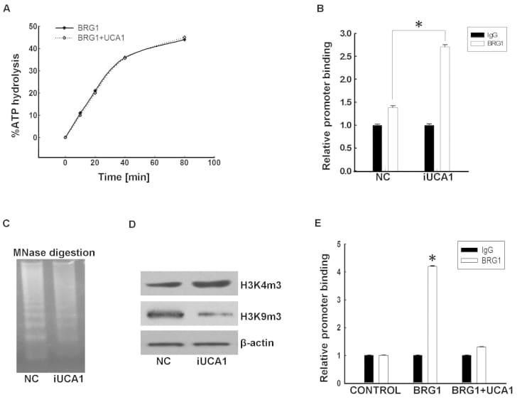 Tri-Methyl-Histone H3 (Lys9) Antibody