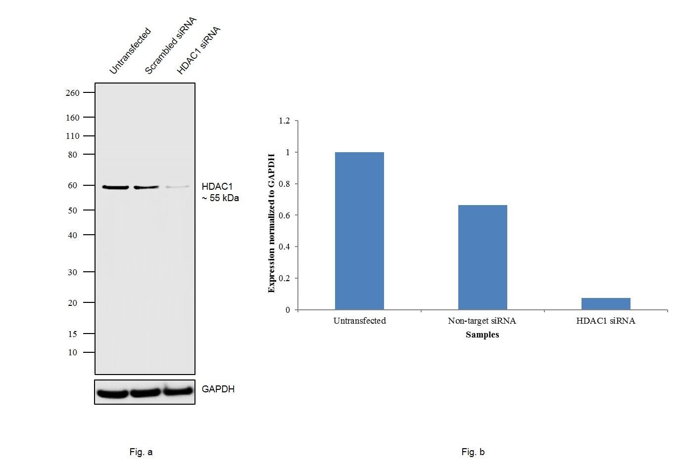 HDAC1 Antibody in Knockdown