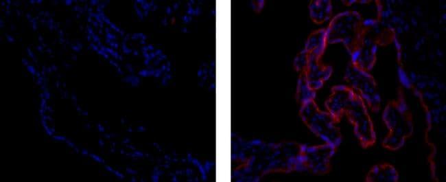 Placental Alkaline Phosphatase Antibody in Immunofluorescence (IF)