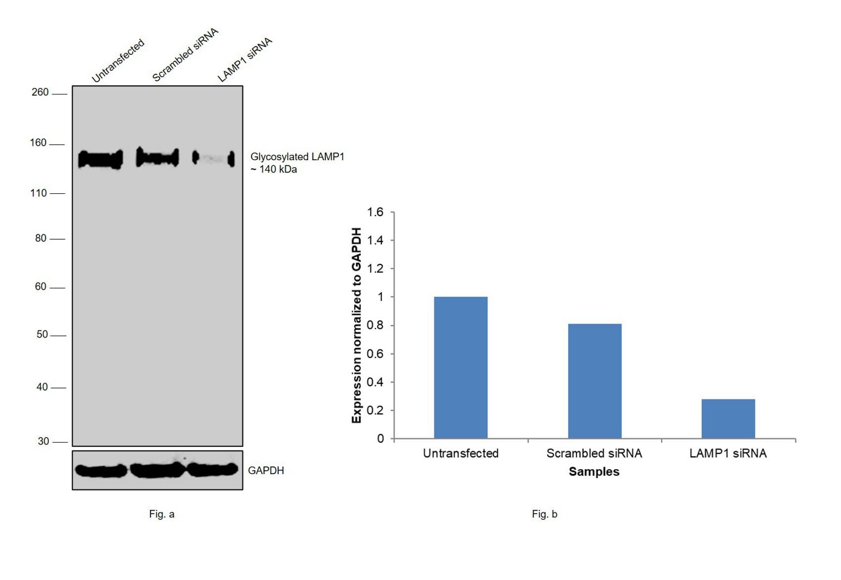 CD107a (LAMP-1) Antibody in Western Blot (WB)