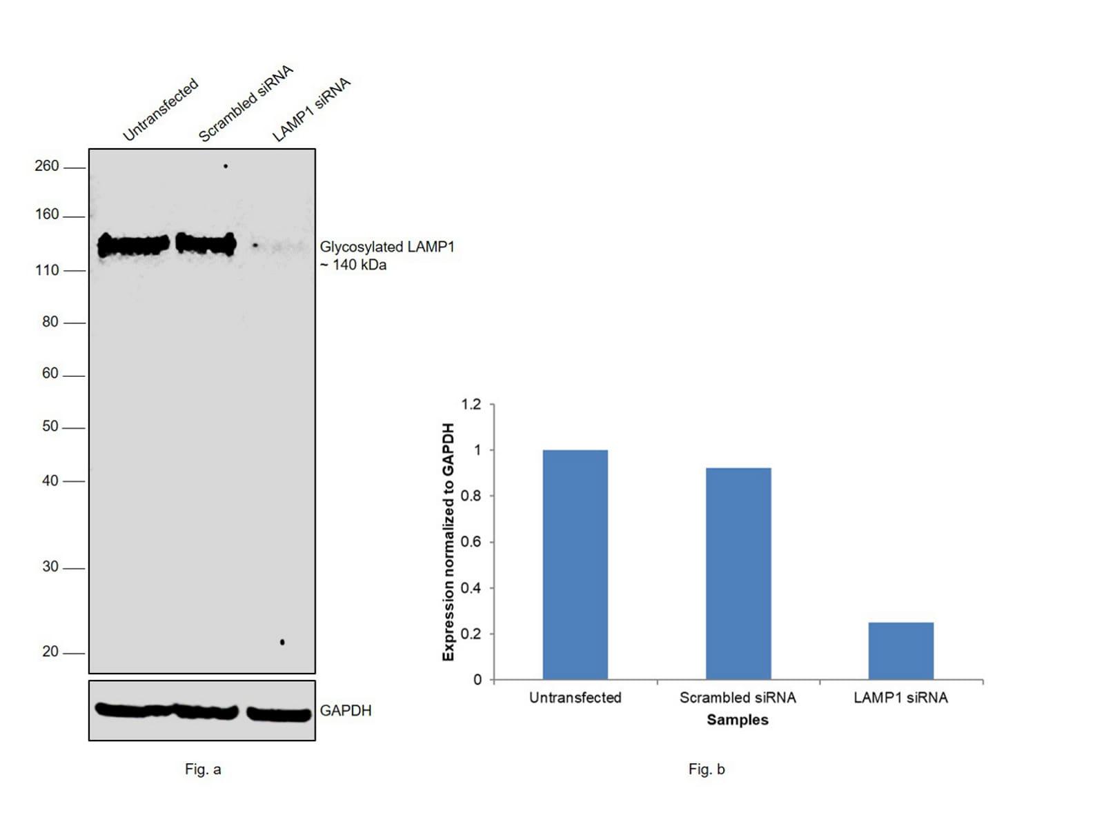 CD107a (LAMP-1) Antibody in Knockdown
