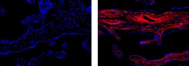 Collagen IV Antibody in Immunofluorescence (IF)