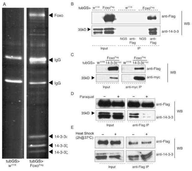 14-3-3 Pan Antibody