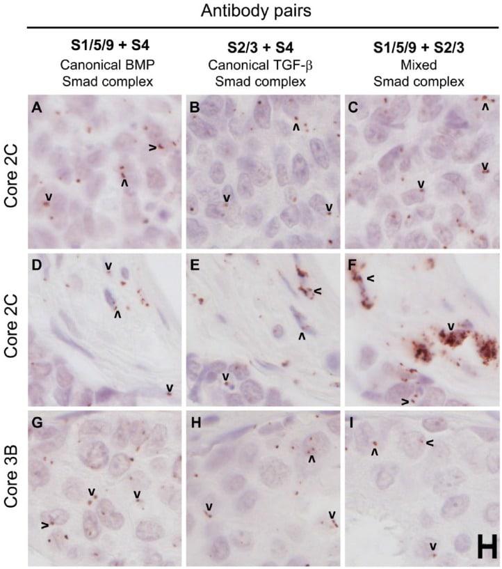 SMAD2 Antibody