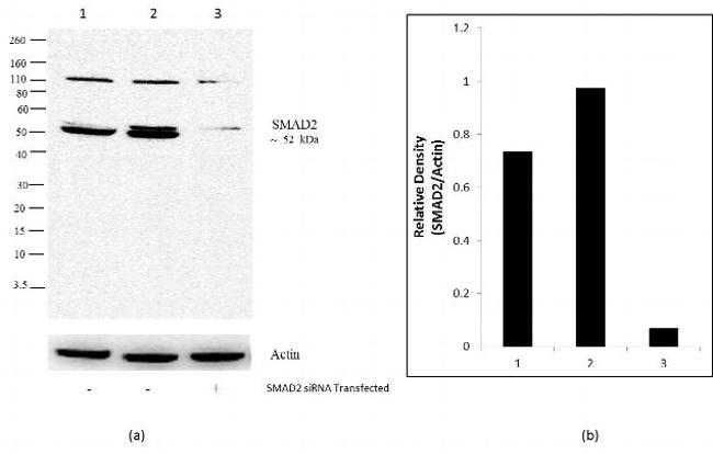 SMAD2 Antibody in Knockdown