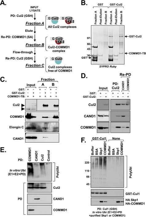 Cullin 2 Antibody