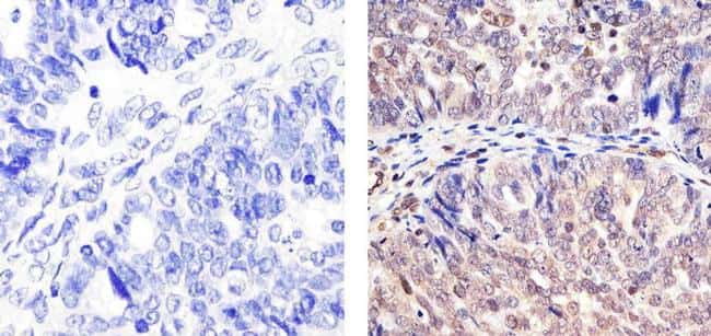 Cullin 2 Antibody in Immunohistochemistry (Paraffin) (IHC (P))
