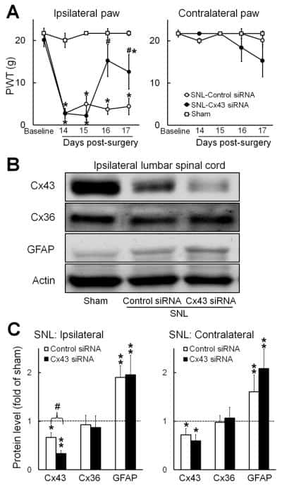 Connexin 36 Antibody