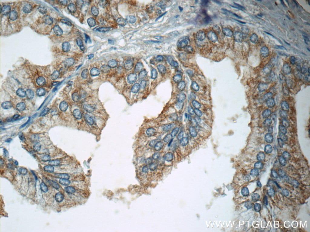 p75NTR Antibody in Immunohistochemistry (Paraffin) (IHC (P))