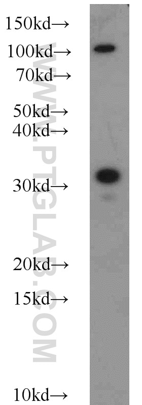 Syntaxin 2 Antibody in Western Blot (WB)