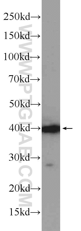 Caspase 12 Antibody in Western Blot (WB)