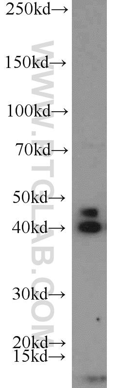 NOV Antibody in Western Blot (WB)