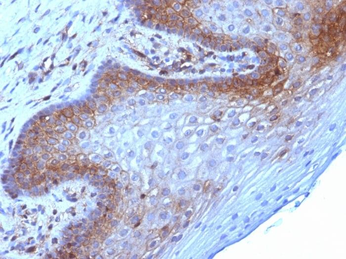 Beta-2 Microglobulin Antibody in Immunohistochemistry (Paraffin) (IHC (P))