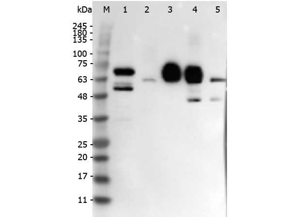 Delta-4 Antibody in Western Blot (WB)