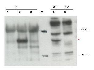 Cybr Antibody in Western Blot (WB)