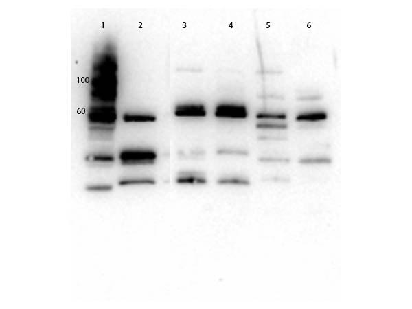 Glut2 Antibody in Western Blot (WB)
