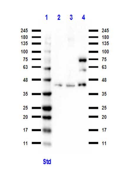 BCL3 Antibody in Western Blot (WB)
