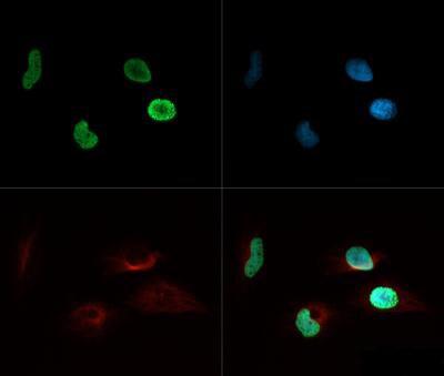 Acetyl-Histone H9 (Lys8) Antibody in Immunofluorescence (IF)